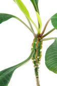 Green euphorbias plant — Stock Photo