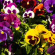 Stock Photo: Pansy flower