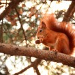 Red squirrel — Stock Photo #41280697