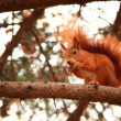 Red squirrel — Stock Photo #41280707