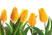Isolated spring tulips — Stock Photo