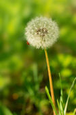 A fluffy dandelion — Stock Photo