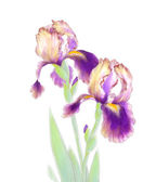 Iris Flowers Isolated on White Background — Stock Photo