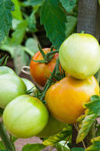 Organic plants tomatoes — Stock Photo