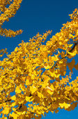 Ginkgo leaves — Stock Photo