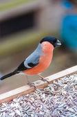 Young male Bullfinch — Stock Photo