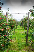 Apple trees - orchard — Stock Photo