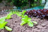 Organics salads in the garden — Stock Photo