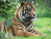 Tigre — Stock Photo