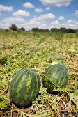 Watermelon growing — Stock Photo