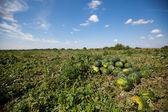 Vattenmelon växer — Stockfoto