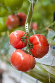 Ripe tomatoes ready to pick in a greenhouse — Stock Photo