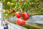 Ripe tomatoes ready to pick in a greenhouse — Стоковое фото