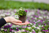 Hand holding seedlings — Stock Photo