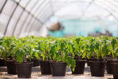 Seedlings potted in peat tray — Stock Photo