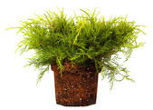 Juniper Conifer Sapling Tree in the pot isolated on white, with roots — Stock Photo