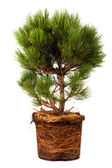 Pine Conifer Sapling Tree in the pot isolated on white, with roots — Stock Photo