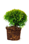 Thuja Conifer Sapling Tree in the pot isolated on white, with roots — Stock Photo
