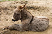 The little burro. Donkey. — Stock Photo