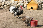 Turkeys — Stock Photo