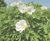 Fleurs blanches — Photo