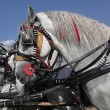 Horse - Lipizzaners — Stock Photo