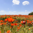Poppies in wheat — Stock Photo #47245025
