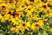 Yellow echinacea flowers — Stock Photo