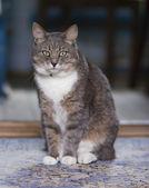 A fat cat sit on the floor — ストック写真