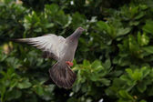 Flying pigeon — Stock Photo