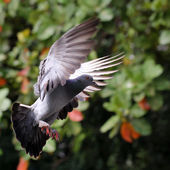 Flying pigeon in the natural — Stock Photo