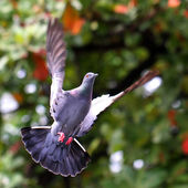 Flying pigeon in natural — Stock Photo