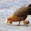Stock Photo: Hen and her chicks