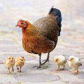 Hen and her chicks — Stock Photo