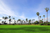 Green Rice Field with the palm tree — Stock Photo