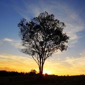 Silhouet van eenzame boom bij zonsondergang — Stockfoto
