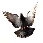 Flying pigeon isolated on white — Stock Photo