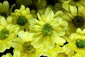 Mooie chrysant — Stockfoto