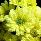Crisantemo hermosa — Foto de Stock