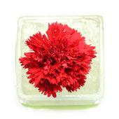 Flor clavel — Foto de Stock