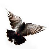Fliegende taube — Stockfoto