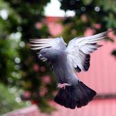 Létající holub — Stock fotografie