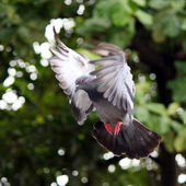 Flying pigeon — Photo