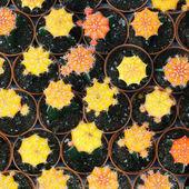 кактус — Стоковое фото