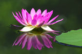 Lotus flower — Stockfoto