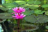 蓮の花 — ストック写真