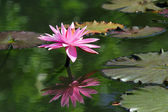 Lotusblomma — Stockfoto