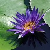 Kwiat lotosu — Zdjęcie stockowe