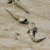 Mudskipper — Foto Stock