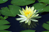 Beautiful lotus flower with reflection — Zdjęcie stockowe
